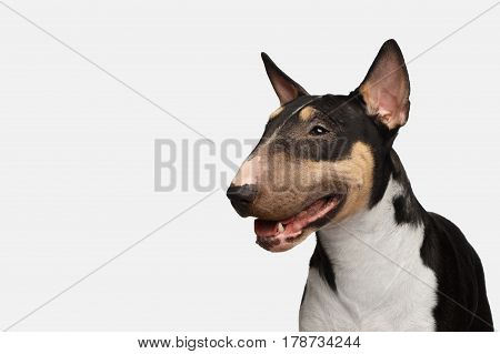 Close-up Portrait of Happy Bull Terrier Dog on isolated White background, profile view