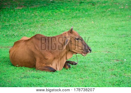 animal red calf child cow farm agriculture on grass