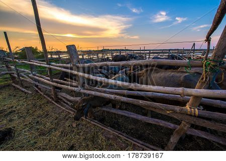 Thailand buffalo in corral at sunset .
