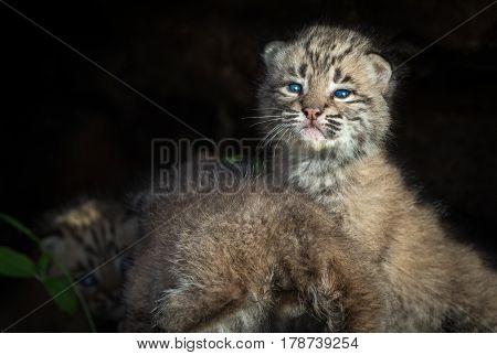 Bobcat Kittens (Lynx rufus) in Log - captive animals