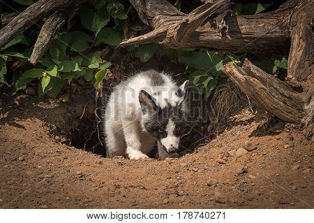 Marble Fox (Vulpes vulpes) Climbs Up - captive animal