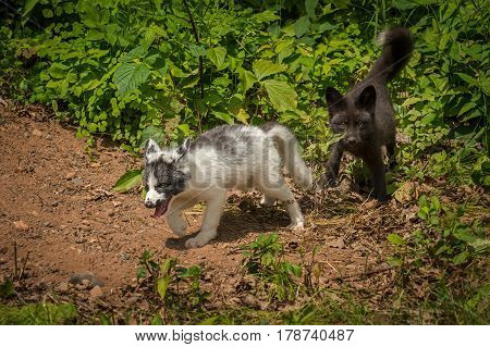 Marble and Silver Fox (Vulpes vulpes) - captive animals