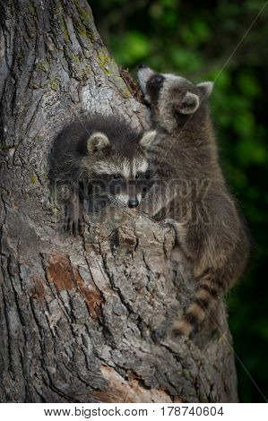 Young Raccoons (Procyon lotor) Clamber On Tree - captive animals