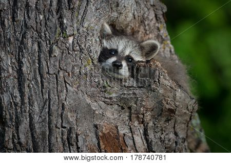 Young Raccoon (Procyon lotor) Pokes Head Out of Knothole - captive animal