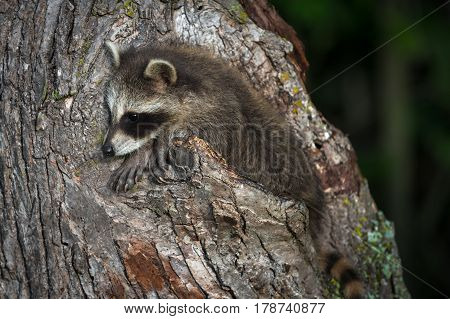 Young Raccoon (Procyon lotor) Hangs Out On Tree - captive animal