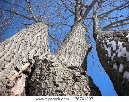 Underneath the Triple Oak Tree in the Winter.