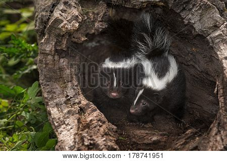 Striped Skunk Kits (Mephitis mephitis) Look Out from Log - captive animals