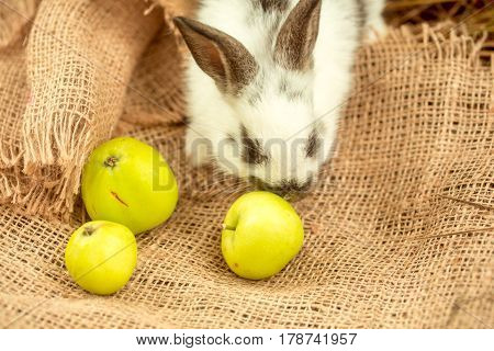 Cute Rabbit Sniffing Yellow Apples On Sackcloth