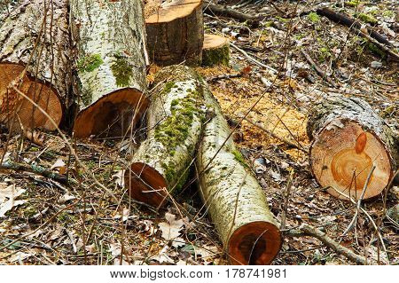 felled trees timber hemp fresh felling cut
