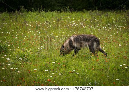 Black Phase Grey Wolf (Canis lupus) Sniffs in Field - captive animal
