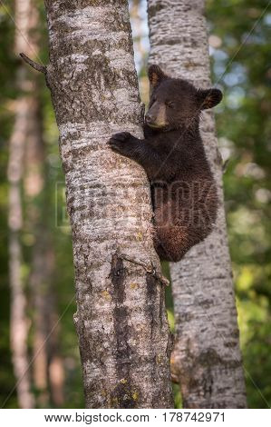 Black Bear (Ursus americanus) Cub on Tree Eyes Closed - captive animal