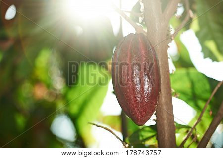 One Cocoa Pod On Farm Tree