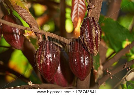 Branch With Group Cocoa Fruits