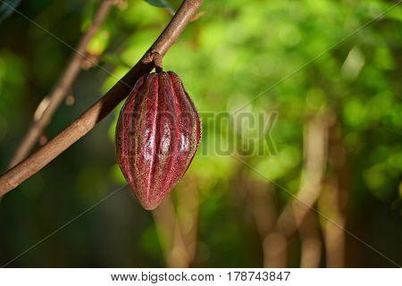 Raw Cocoa Fruit On Tree