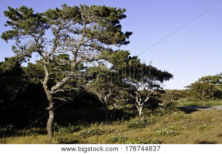 Wide view of pitch pine trees on a yellow grassy landscape at Race Point Beach, Provincetown, Cape Cod, Massachusetts with blue skies in mid September.