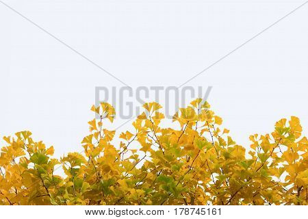 Isolated leaves of ginkgo biloba on white background. Photo design with copy space for adding your text and artwork