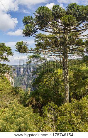 Araucaria Angustifolia Forest At Itaimbezinho Canyon