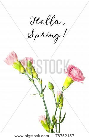 Tender pink carnation flowers and buds on a white background with copy space