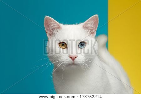 Portrait of Pure White Cat with odd eyes and tail on bright Blue and Yellow Background, front view