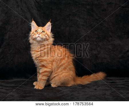 Adorable Fun Red Solid Maine Coon Kitten Profile Sitting With Long Tail Looking Up On Black Backgrou