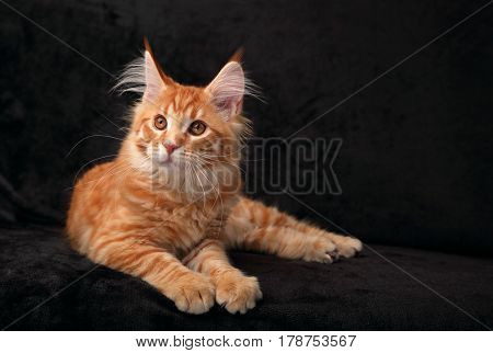Adorable Calm Red Solid Maine Coon Kitten Lying With Beautiful Brushes On The Ears And Yellow Eyes O