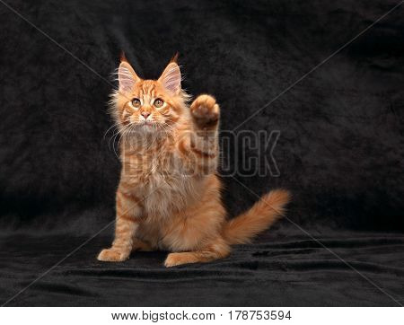 Funny Adorable Red Solid Maine Coon Kitten Standing On Two Back Feet With Beautiful Brushes On The E