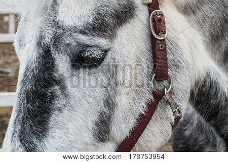 White pale horse in stable in winter closeup