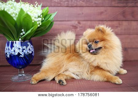 Pomeranian dog on wooden background. Beautiful dog indoor. Happy dog. Dog with flowers