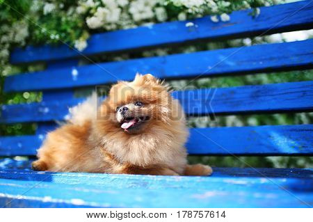Pomeranian dog on a blue bench. Happy dog. Beautiful dog in a park. Adorable pomeranian