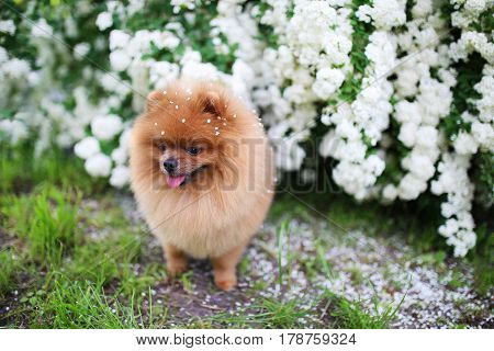 Beautiful dog. Pomeranian dog near blossoming white bush. Pomeranian dog in a park. Adorable dog. Happy dog