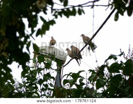Photo of a flock of Eurasian collared doves sitting on a wire