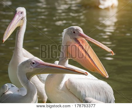 White Pelican in zoo