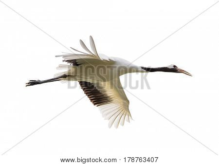 Red-Crowned crane isolated on white