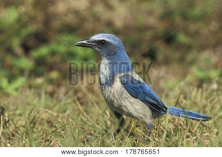 An endangered Florida Scrub Jay, Aphelocoma coerulescens on the ground in Florida