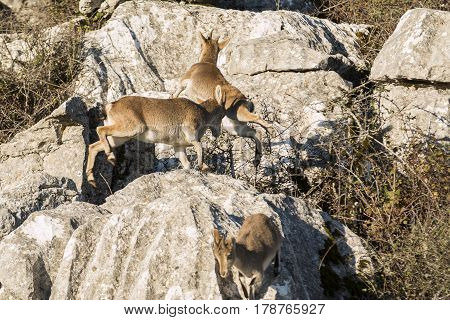 Few ibex goat jumping over rocks and running away.