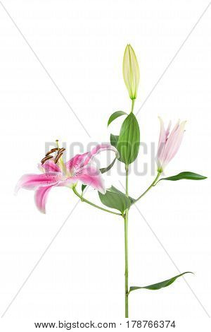 Pink Stargazer lily stem with leaves flowers and bud isolated on white.