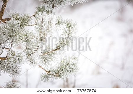 Pine Tree Branch With Winter White Rime