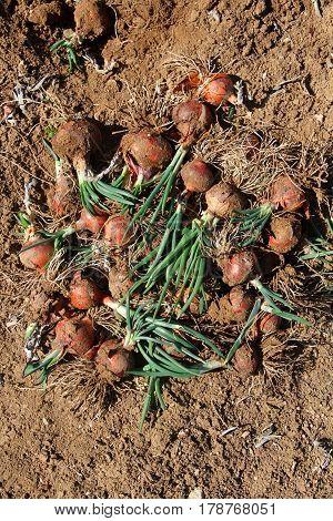 fresh organic onions harvest in a farm