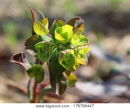 The unusual green flowers of Euphorbia amygdaloides purpurea, also known as purple wood spurge, in a natural outdoor setting.
