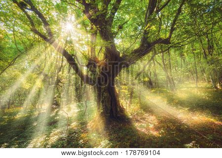 Fairy old tree tree with colorful sun rays in spring morning. Fantastic landscape with dreamy forest and green leaves at colorful sunrise. Magic woods with orange sunlight. Enchanted tree. Fairytale