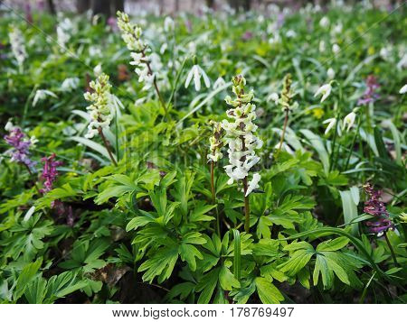 Wild floral carpet made of bulbous white fumewort Corydalis cava and snowdrop flowers Galanthus nivalis blooming in the spring forest near Dobrin in a sunny day. Czech Republic.