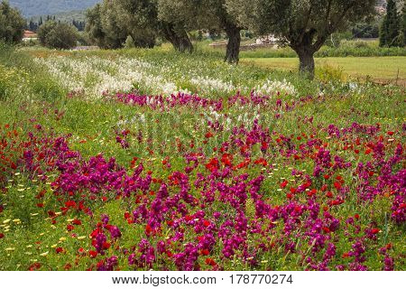 Field Of Colorful Spring Flowers In Schinias, Greece