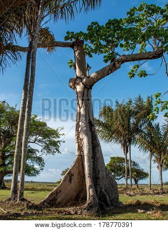 Giant Ceiba Tree Growing in the Amazon Region of Brazil