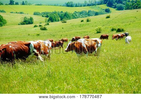 Cow herd grazing on a beautiful green meadow, with mountains in background
