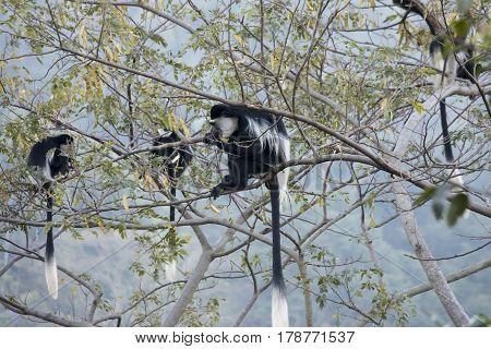 Feeding Troop Of Black And White Colobus Monkey