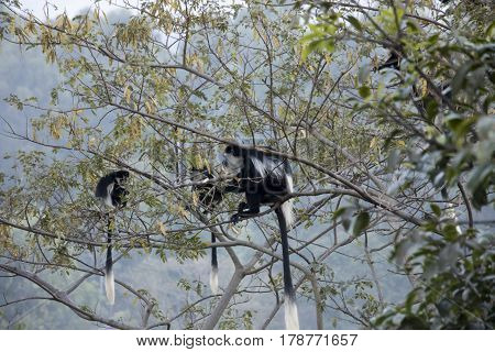 Black And White Colobus Monkeys Eating In Tree