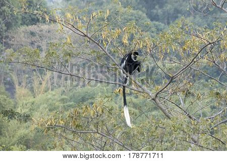 Black And White Colobus Monkey Siting In Tree
