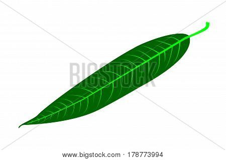 Willow - leaf vector illustration , willow leaf,