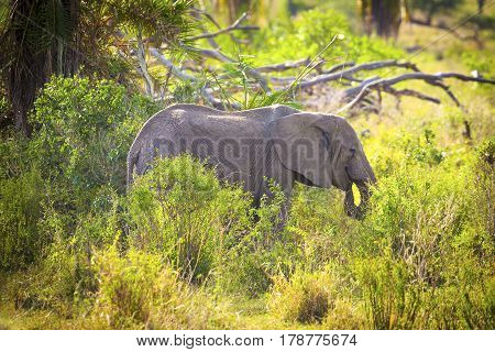 Big young elephant eating grass and branches of trees in Serengeti Tanzania, Africa.