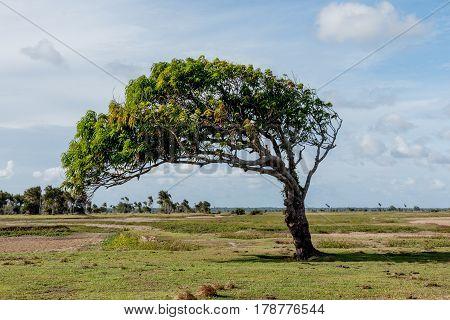 Lone Windblown Tree in the Amazon Region of Brazil